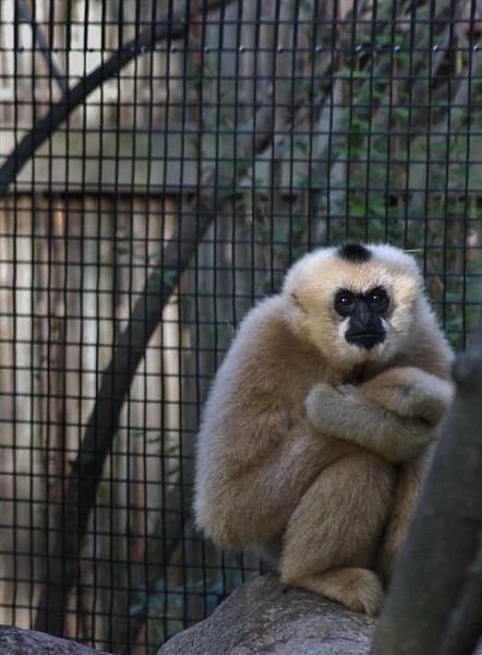 Gibbon-0483-C