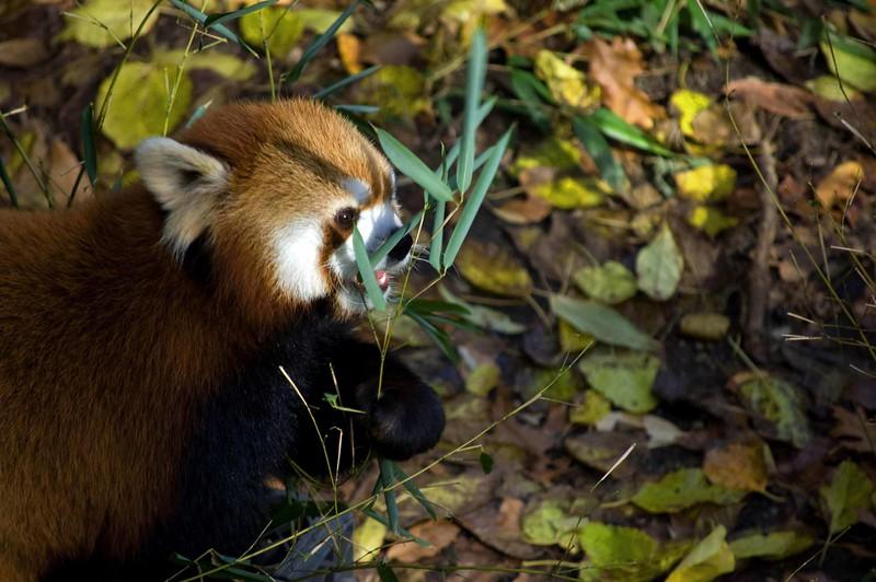 Red-Panda-0267-B
