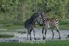 Dueliing zebras