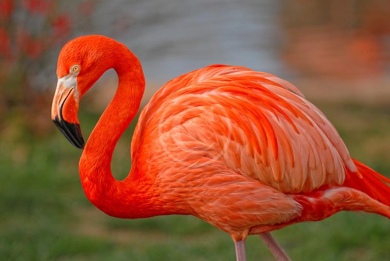 Pink Flamingo at the zoo
