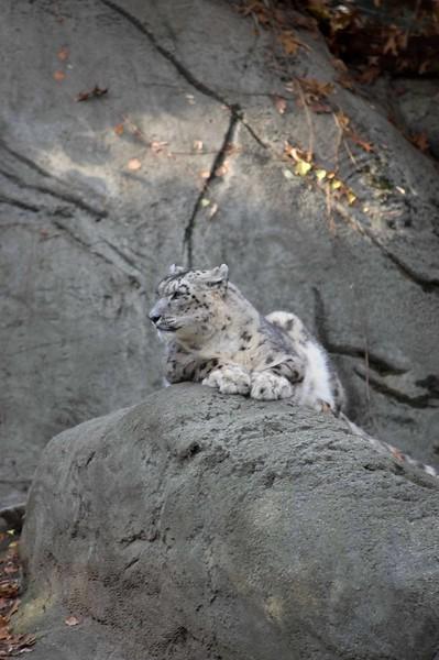 Snow-Leopard-0616-B