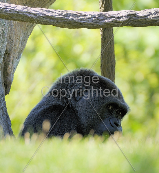 Gorilla, Lincoln Park