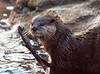 small clawed asion river otter