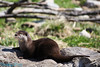 chineese river otter