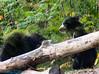 solth bear cub