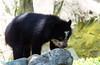andian bear cub