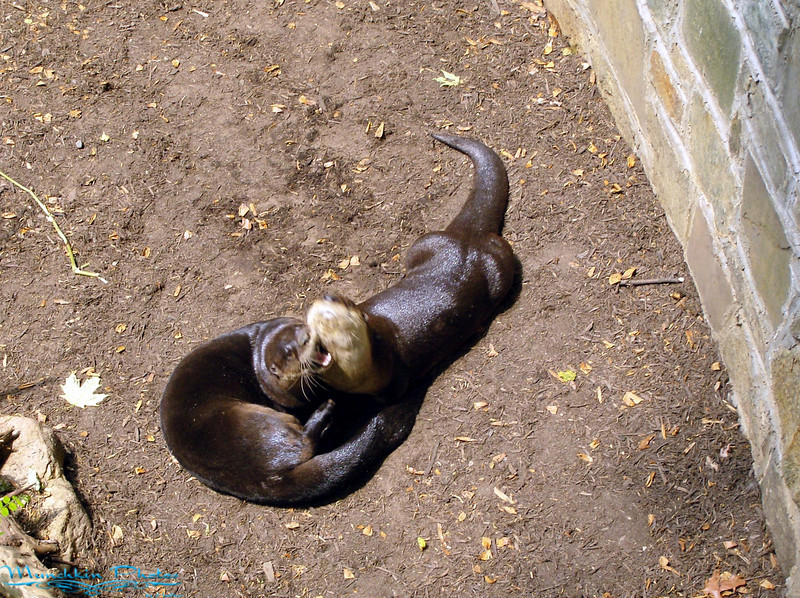 playing river otters.