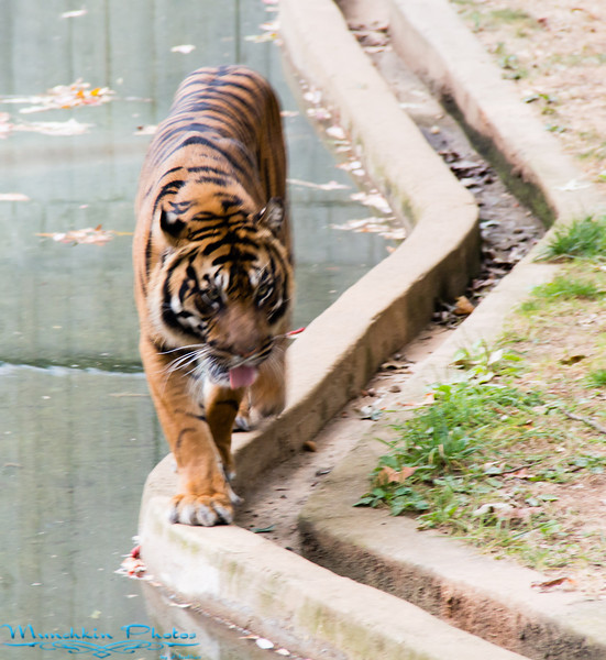 the male tiger