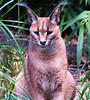 Caracal sitting pretty