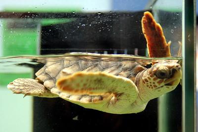 North Carolina Aquarium at Pine Knoll Shores Loggerhead Turtle
