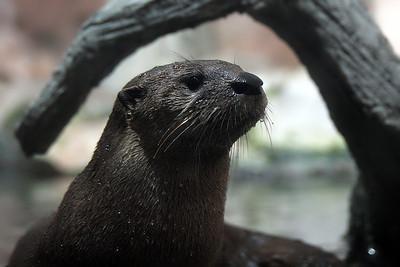 North Carolina Aquarium at Pine Knoll Shores River Otter
