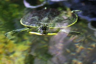 North Carolina Aquarium at Pine Knoll Shores Pond Turtle