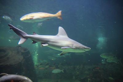 North Carolina Aquarium at Pine Knoll Shores Shark