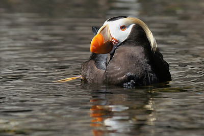 Tufted Puffin Canon EF 70-300mm f/4-5.6 IS USM