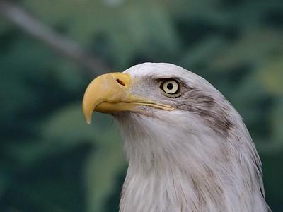 Oregon Zoo Bald Eagle 1 (30998495)