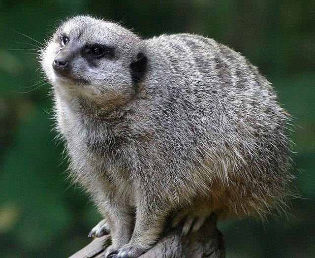 Oregon Zoo Meerkat (30998502)