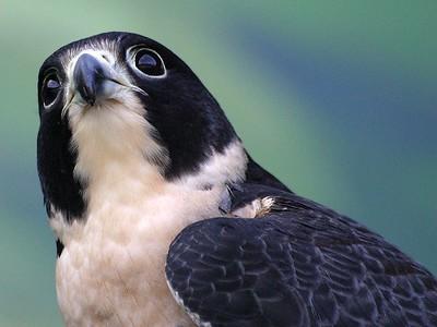 Oregon Zoo Hawk (30998500)