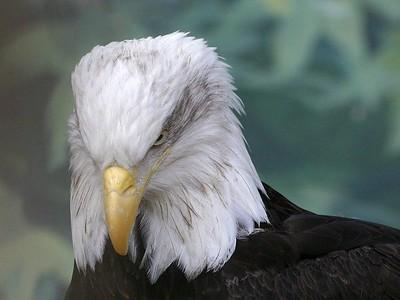 Oregon Zoo Bald Eagle 2 (30998496)