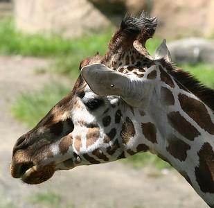 Oregon Zoo Giraffe (30998499)