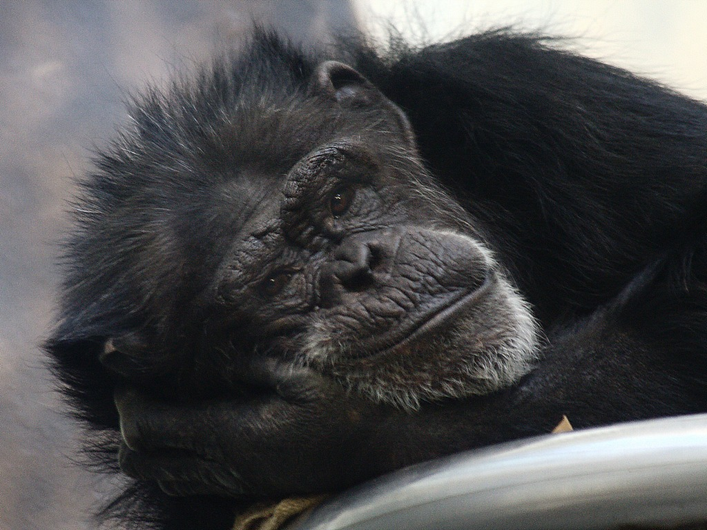 Resting Chimp