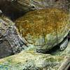 Terp turtle