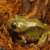 the standard frog