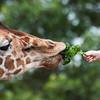 Giraffe Fed by Child's Hand