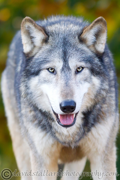 IMAGE: http://www.davidstallardphotography.com/Animals/Zoos/Colchester-Zoo-18-11-12/i-NhQmv4f/0/XL/Colchester%20Zoo%2018-11-12%20%20080-XL.jpg