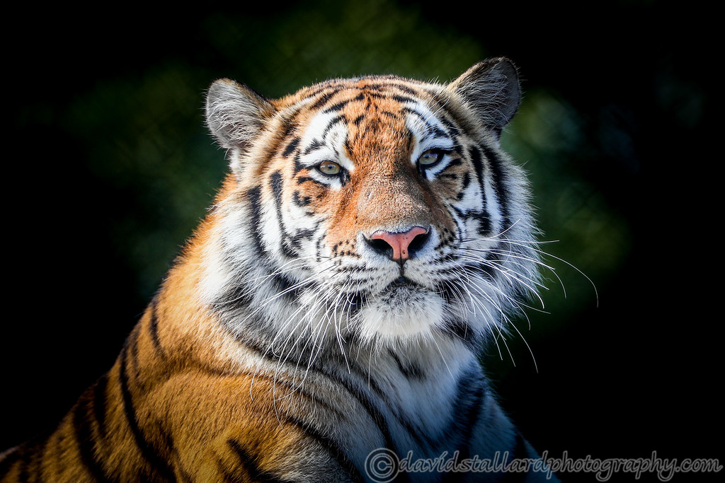 IMAGE: https://photos.smugmug.com/Animals/Zoos/Colchester-Zoo-Collection/Colchester-Zoo-27-08-17/i-MpqJwVh/0/5f266ddf/XL/Colchester%20Zoo%2027-08-17%20%200031-XL.jpg