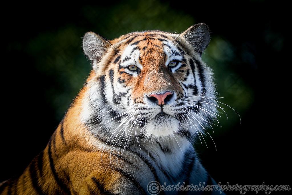 IMAGE: https://photos.smugmug.com/Animals/Zoos/Colchester-Zoo-Collection/Colchester-Zoo-27-08-17/i-MpqJwVh/0/5f266ddf/XL/Colchester%20Zoo%2027-08-17%20%200031-XL.jpg