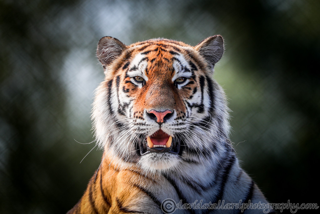 IMAGE: https://photos.smugmug.com/Animals/Zoos/Colchester-Zoo-Collection/Colchester-Zoo-27-08-17/i-dxSr9wL/0/1f95fd01/XL/Colchester%20Zoo%2027-08-17%20%200028-XL.jpg