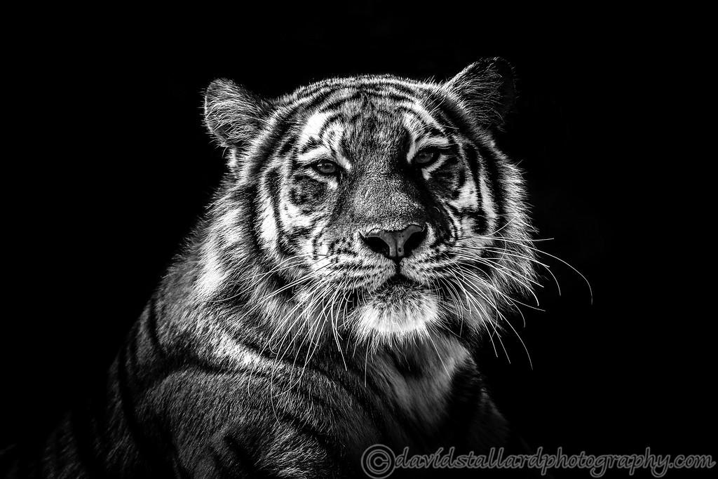 IMAGE: https://photos.smugmug.com/Animals/Zoos/Colchester-Zoo-Collection/Colchester-Zoo-27-08-17/i-sCvnmtk/0/39cc12ce/XL/Tiger%20BW-XL.jpg