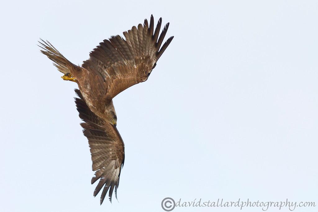 IMAGE: http://www.davidstallardphotography.com/Animals/Zoos/Hawk-Conservancy-09-01-13/i-WvVZdSR/0/XL/Hawk%20Conservancy%2009-01-13%20%20176-XL.jpg