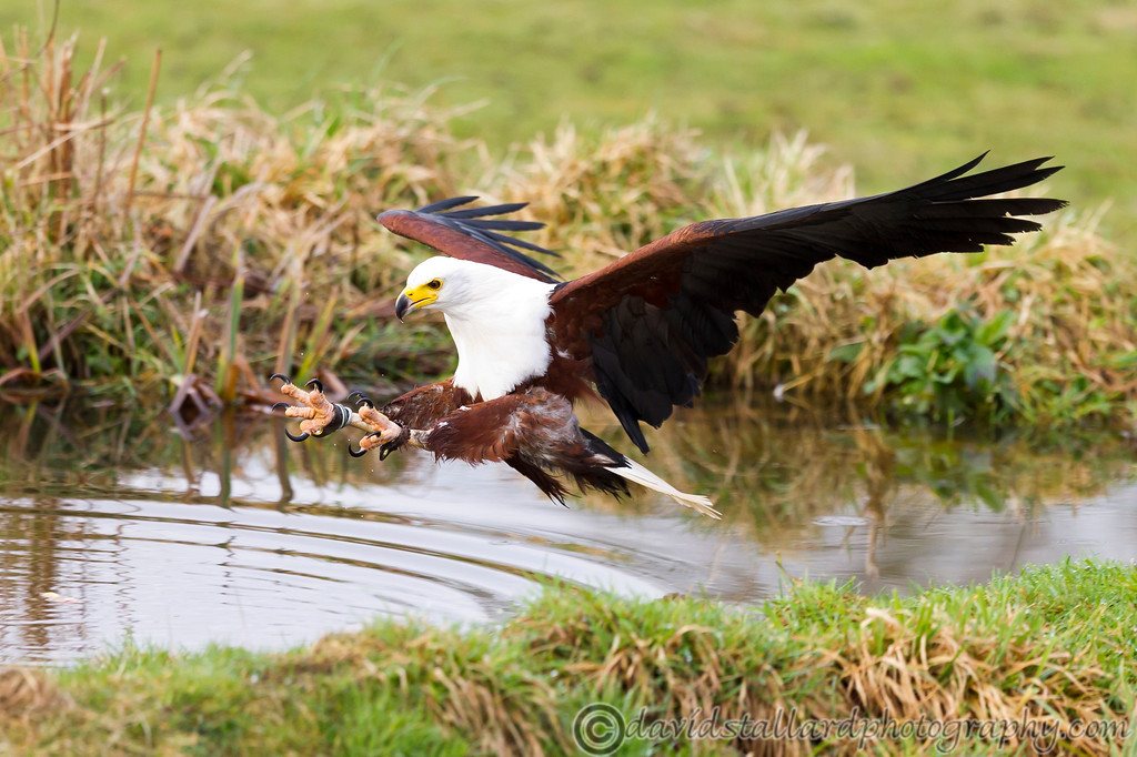 IMAGE: http://www.davidstallardphotography.com/Animals/Zoos/Hawk-Conservancy-09-01-13/i-zWZPB7F/0/XL/Hawk%20Conservancy%2009-01-13%20%20123-XL.jpg