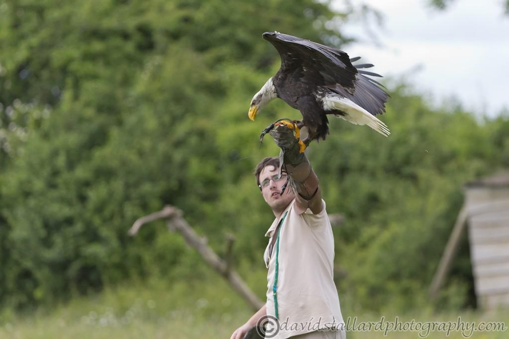 IMAGE: http://www.davidstallardphotography.com/Animals/Zoos/Hawk-Conservancy-20-06-15/i-9zR246Q/0/XL/Hawk%20Conservancy%2020-06-15%20%200158-XL.jpg