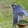 Hawk Conservancy 20-06-15  0017