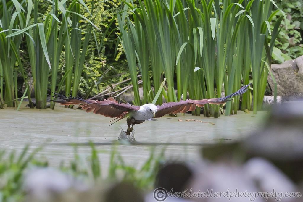 IMAGE: http://www.davidstallardphotography.com/Animals/Zoos/Hawk-Conservancy-20-06-15/i-jV2jmxq/0/XL/Hawk%20Conservancy%2020-06-15%20%200195-XL.jpg