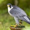 Hawk Conservancy 20-06-15  0016