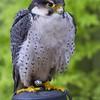 Hawk Conservancy 20-06-15  0011