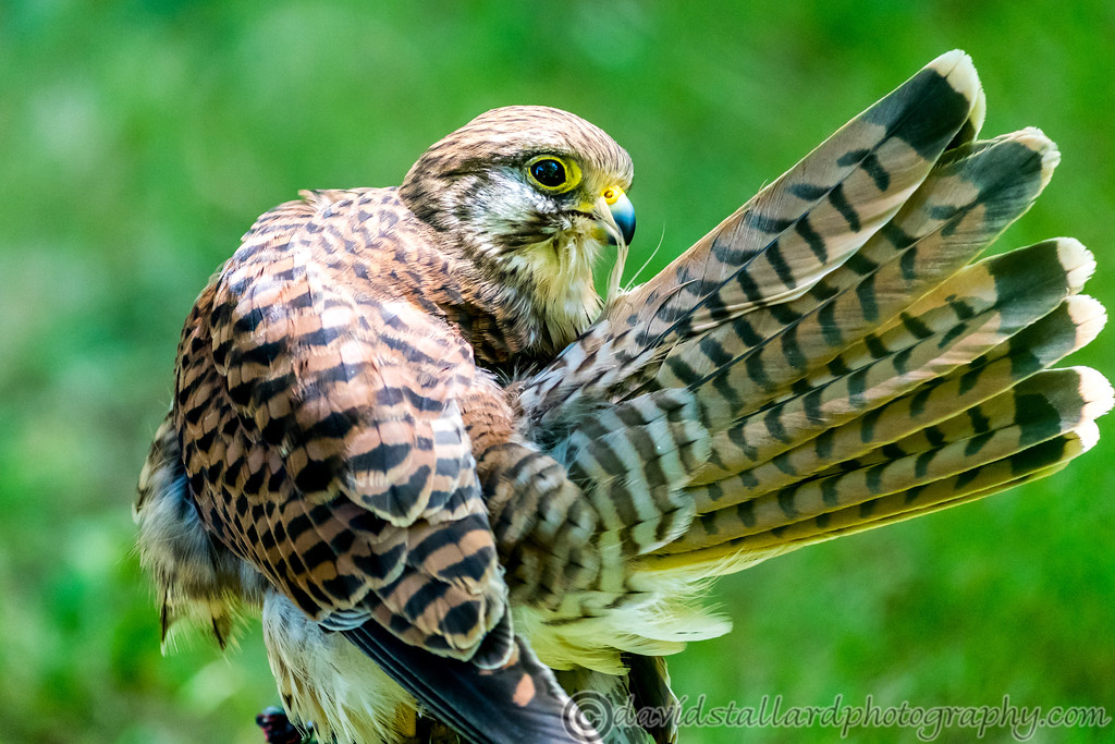 IMAGE: https://photos.smugmug.com/Animals/Zoos/Hawk-Conservancy-Collection/Hawk-Conservancy-30-06-18/i-9spB7M3/0/73ee6385/XL/Hawk%20Conservancy%2030-06-18%20%200128-XL.jpg