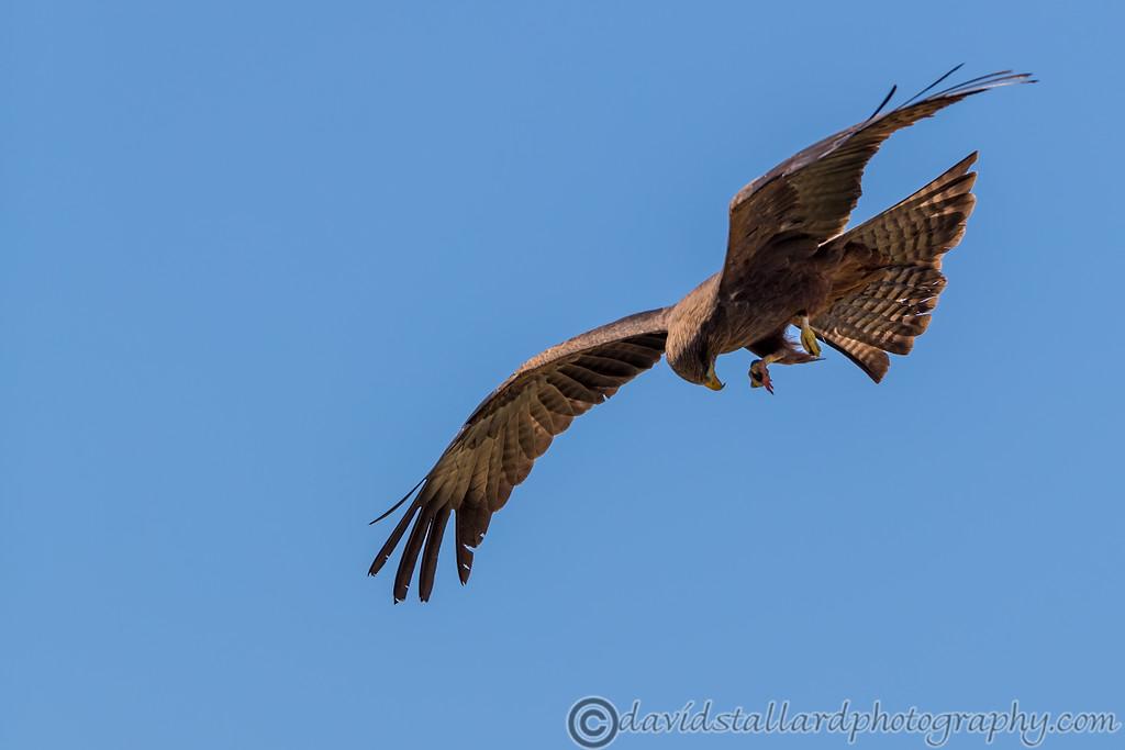 IMAGE: https://photos.smugmug.com/Animals/Zoos/Hawk-Conservancy-Collection/Hawk-Conservancy-30-06-18/i-MXSwrxn/0/588d2fec/XL/Hawk%20Conservancy%2030-06-18%20%200065-XL.jpg