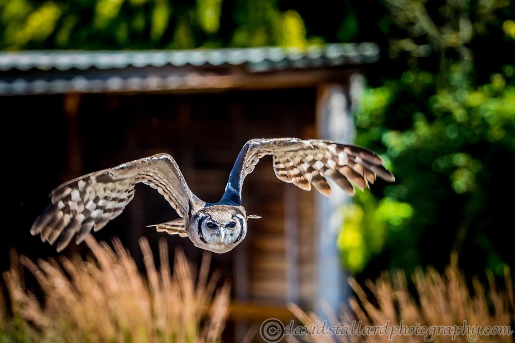 IMAGE: https://photos.smugmug.com/Animals/Zoos/Hawk-Conservancy-Collection/Hawk-Conservancy-30-06-18/i-SZwMcFX/0/d145a414/XL/Hawk%20Conservancy%2030-06-18%20%200026-XL.jpg