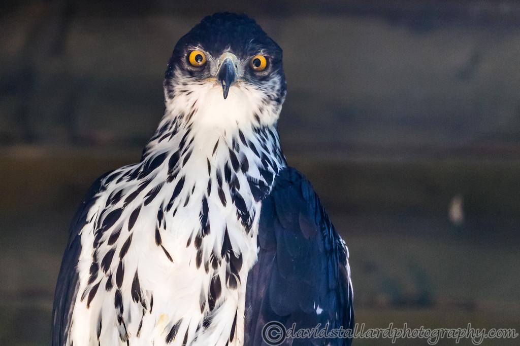 IMAGE: https://photos.smugmug.com/Animals/Zoos/Hawk-Conservancy-Collection/Hawk-Conservancy-30-06-18/i-mLVbLNS/0/2ae99273/XL/Hawk%20Conservancy%2030-06-18%20%200133-XL.jpg