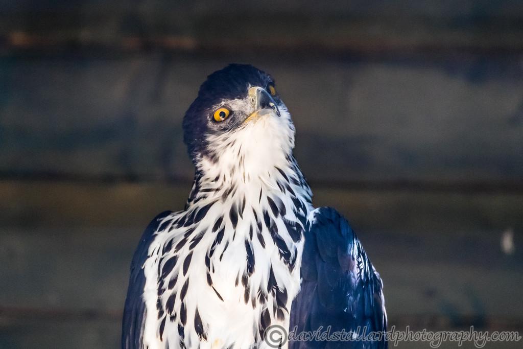 IMAGE: https://photos.smugmug.com/Animals/Zoos/Hawk-Conservancy-Collection/Hawk-Conservancy-30-06-18/i-pxZ9cR8/0/eb95e97a/XL/Hawk%20Conservancy%2030-06-18%20%200134-XL.jpg