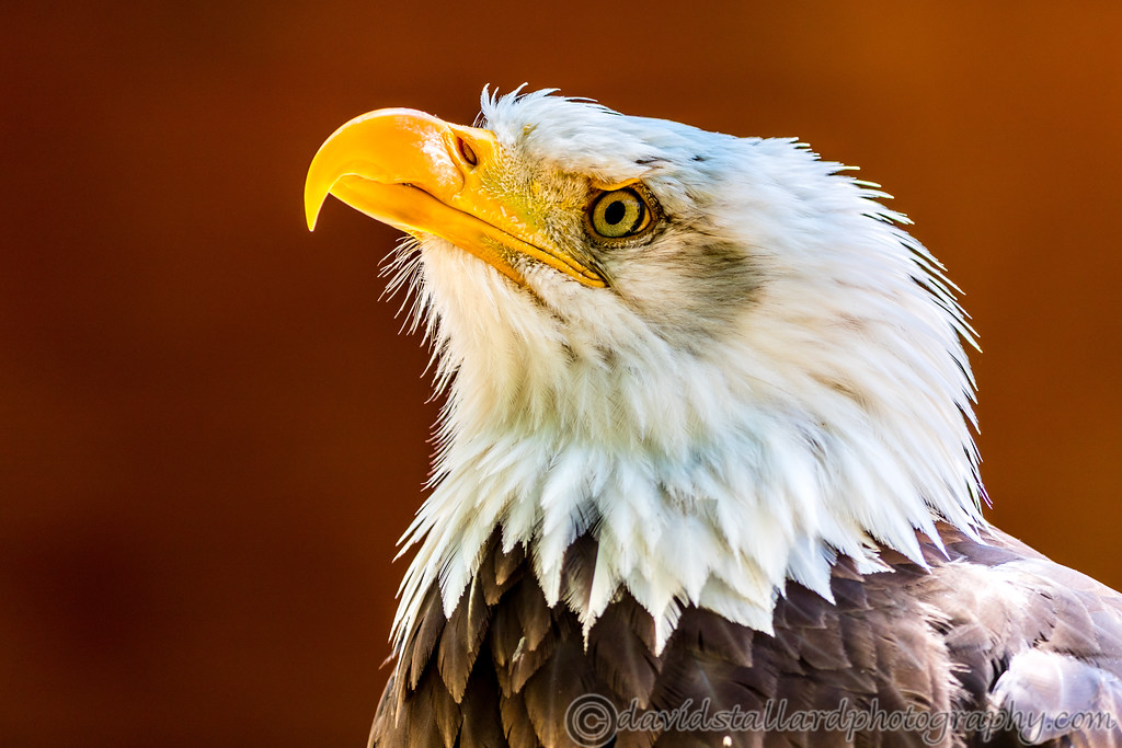 IMAGE: https://photos.smugmug.com/Animals/Zoos/Hawk-Conservancy-Collection/Hawk-Conservancy-30-06-18/i-trPXdq6/0/93e431d8/XL/Hawk%20Conservancy%2030-06-18%20%200113-XL.jpg