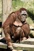 A female orangatang