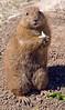 A black-tailed prairie dog