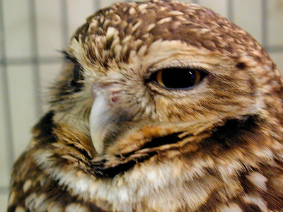"""Frodo"" - Burrowing Owl"