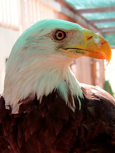 """Liberty"" - Bald Eagle"