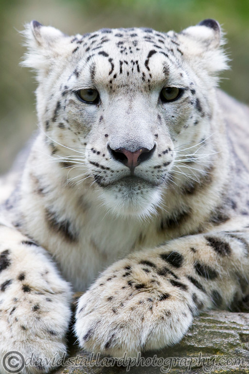 IMAGE: https://photos.smugmug.com/Animals/Zoos/Marwell-Zoo-Collection/Marwell-Zoo-05-07-14/i-cPHzV25/1/XL/Marwell%20Zoo%2005-07-14%20%200120-XL.jpg